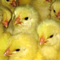 The Houghton Trust - Promoting research into poultry diseases